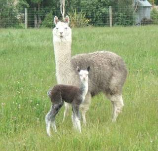 Buffy and her cria Kimberlite